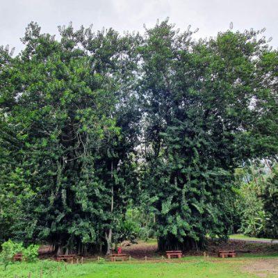 gummibaum banjan zwei wollen meer moorea banian