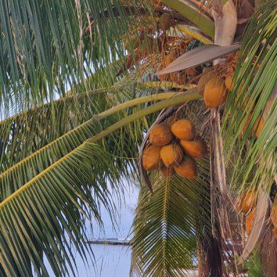 Kokosnüsse an der Palme zwei wollen meer